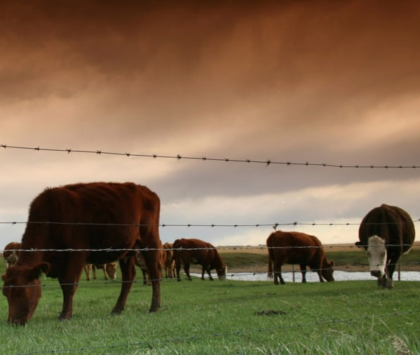 Produce beef in a more ethical and sustainable manner